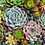 Thumbnail: Pink Picasso Sensitive Succulents