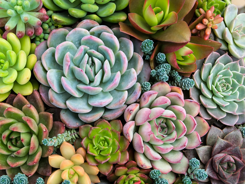Pink Picasso Sensitive Succulents