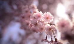 Blossom, Japan