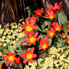 Scarlet Baby and Saxifrage