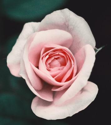 Pink%2520Rose_edited_edited_edited.jpg