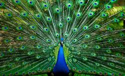 Peacock High def