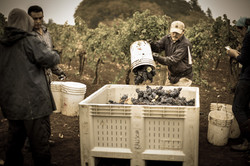 Pouring Grapes in Bin