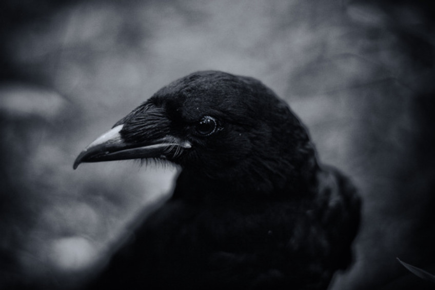 Black and white image of a crow