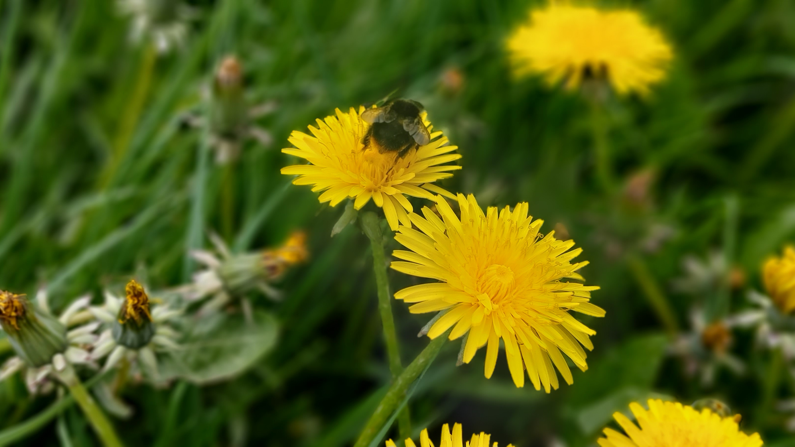 busy bumble bee on dandelion