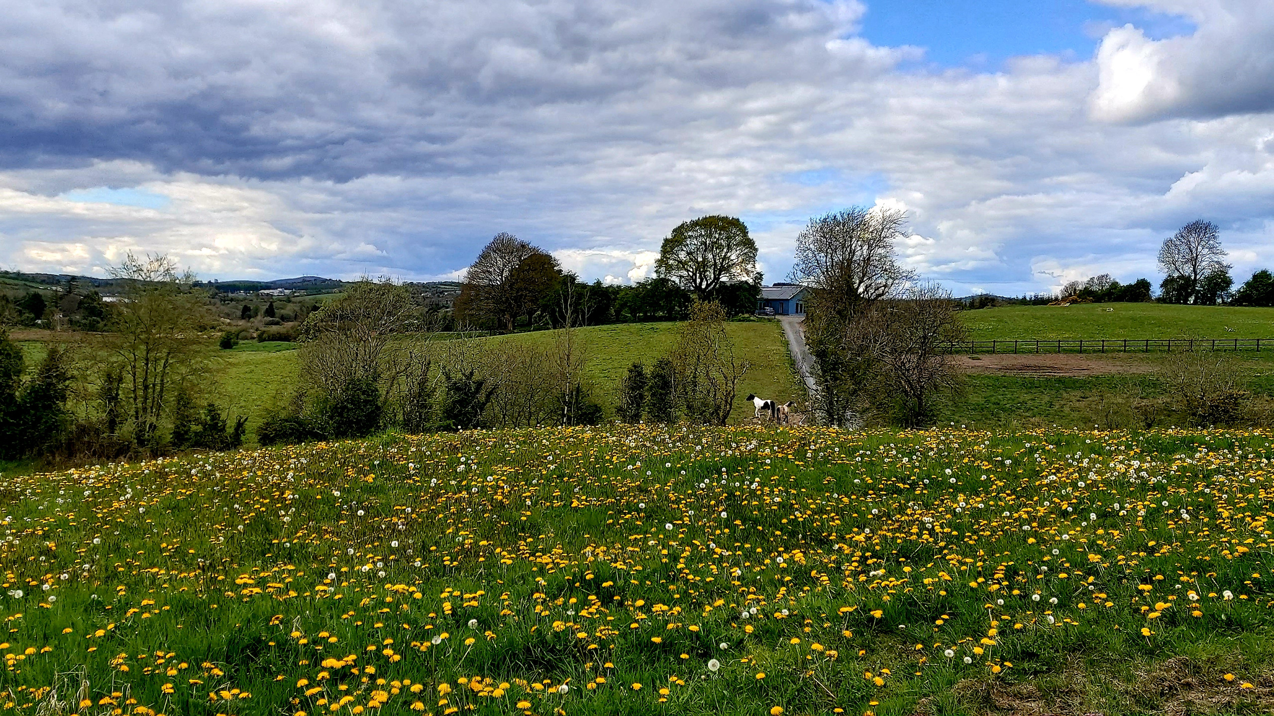dandelion field and horses