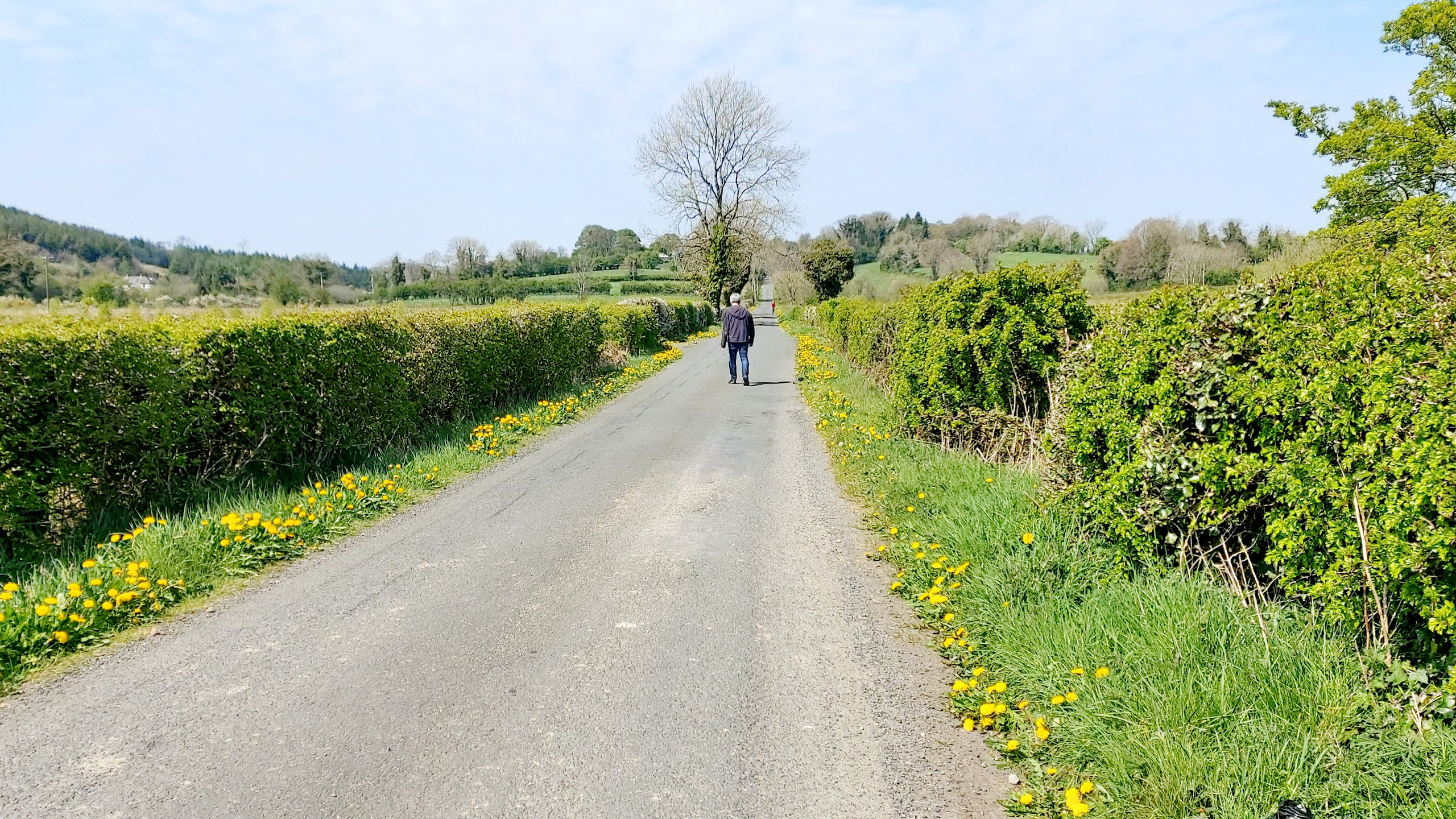 Dandelion drive-way