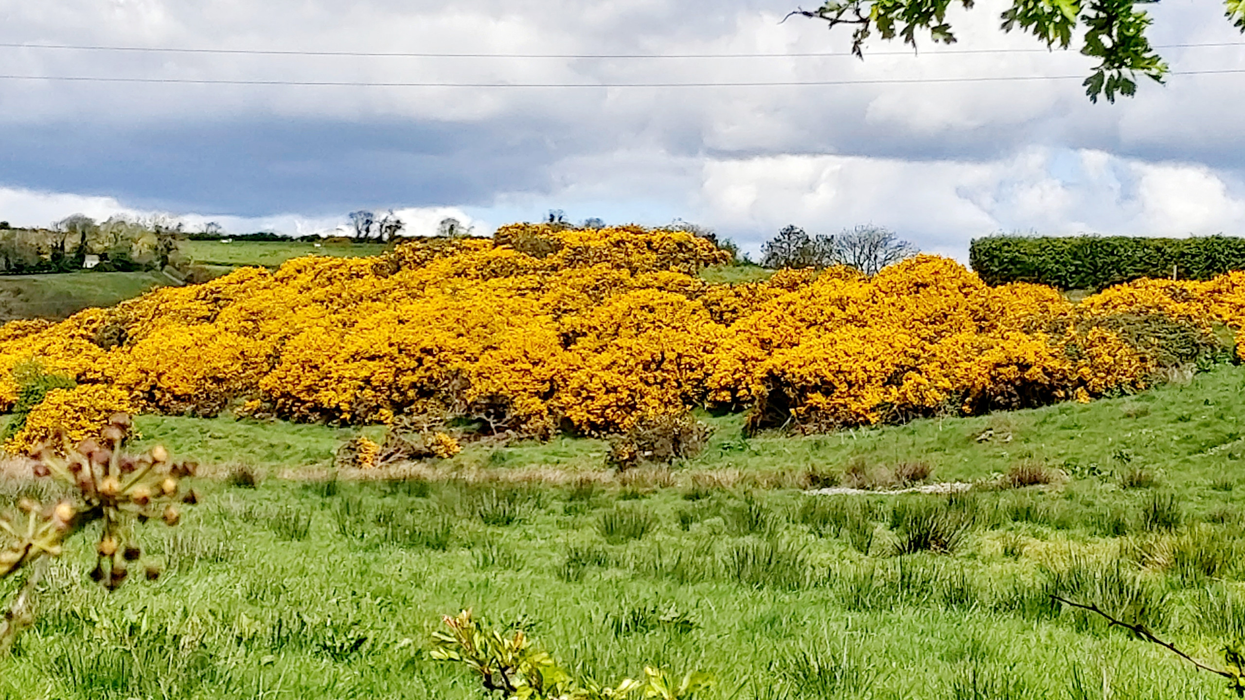 swathe of yellow gorse