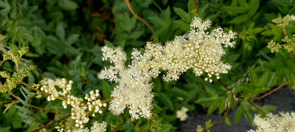 Meadowsweet blossoms
