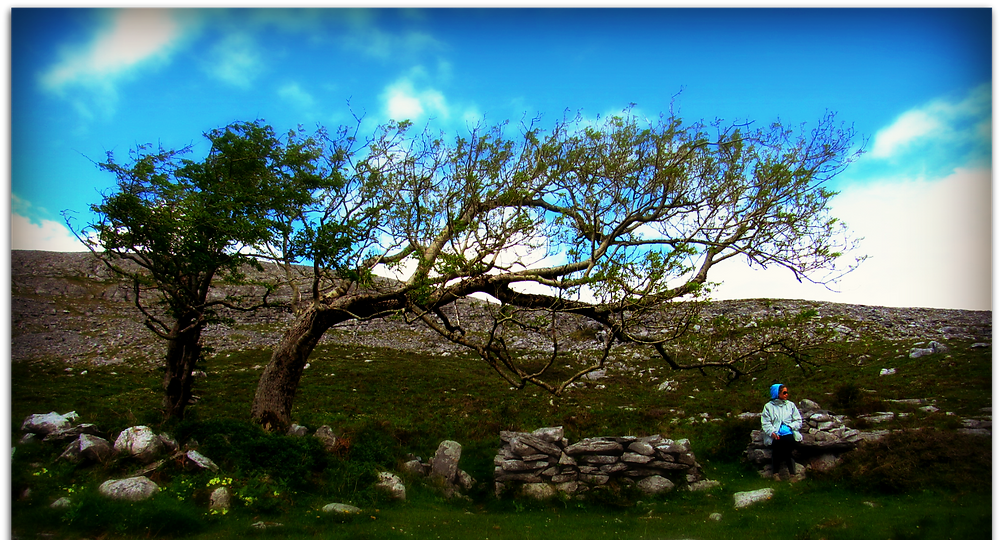 A twisted tree on a windswept Burren hillside leaning over a holy well.