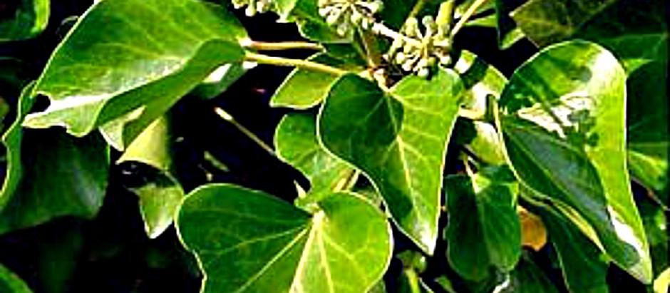 tree lore | 5 sacred evergreens of #christmas
