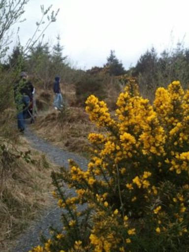 Yellow gorse on the way up to Fionn's Fingers.