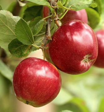 Irish Tree Lore | The Apple Tree