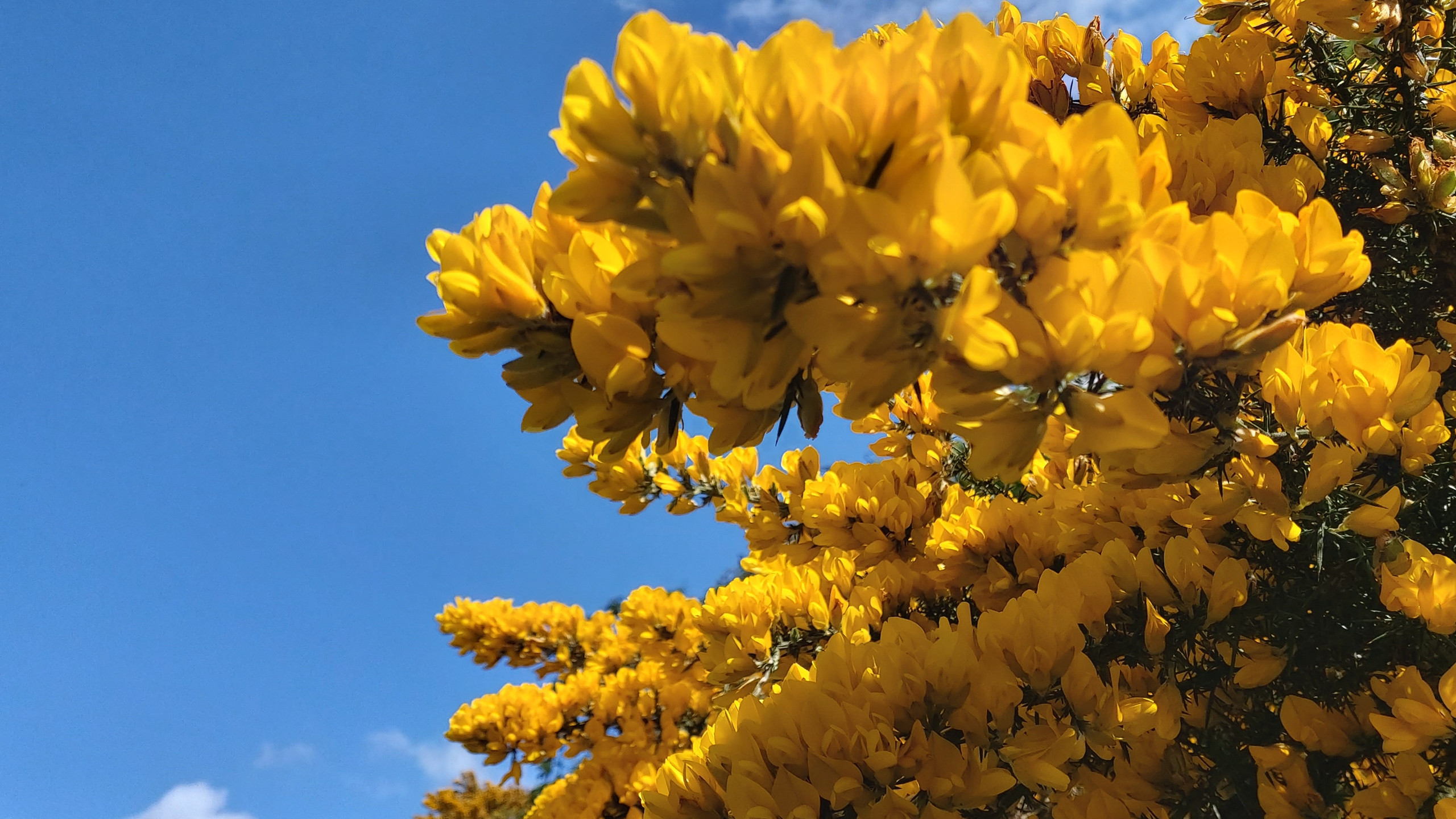 Yellow gorse against blue sky