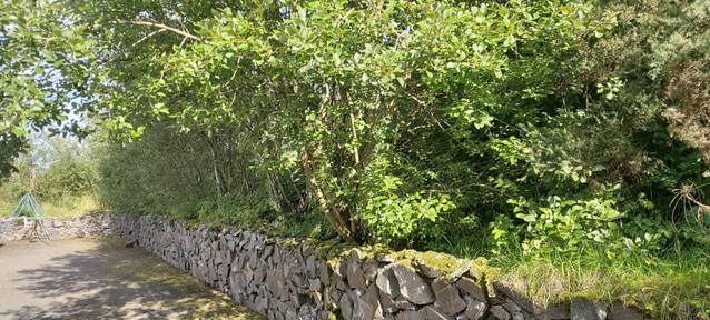 Willow trees in my garden