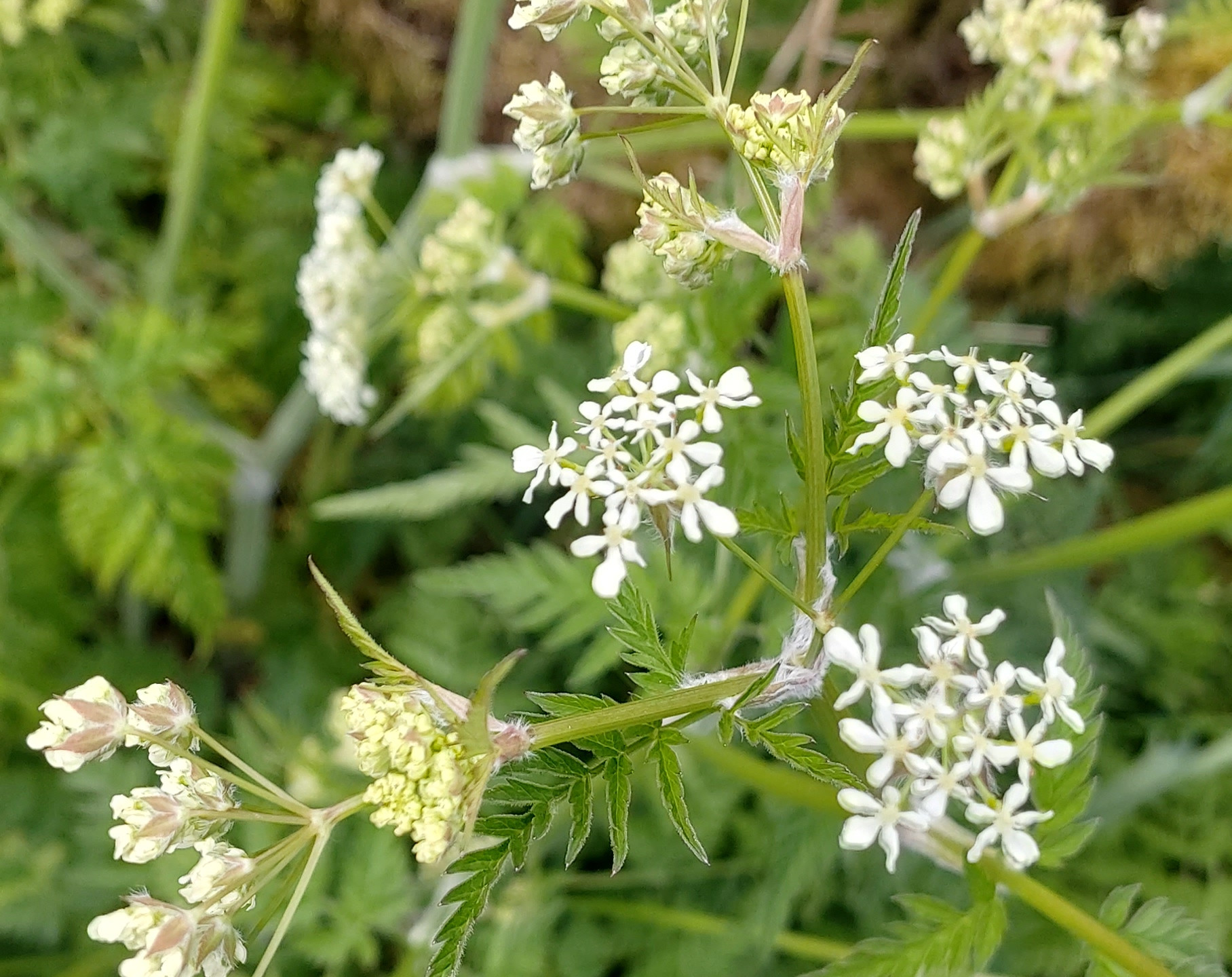 I think Queen Anne's Lace?
