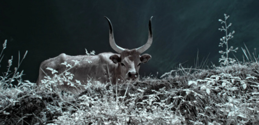 cattle raids and the mysterious giant bull