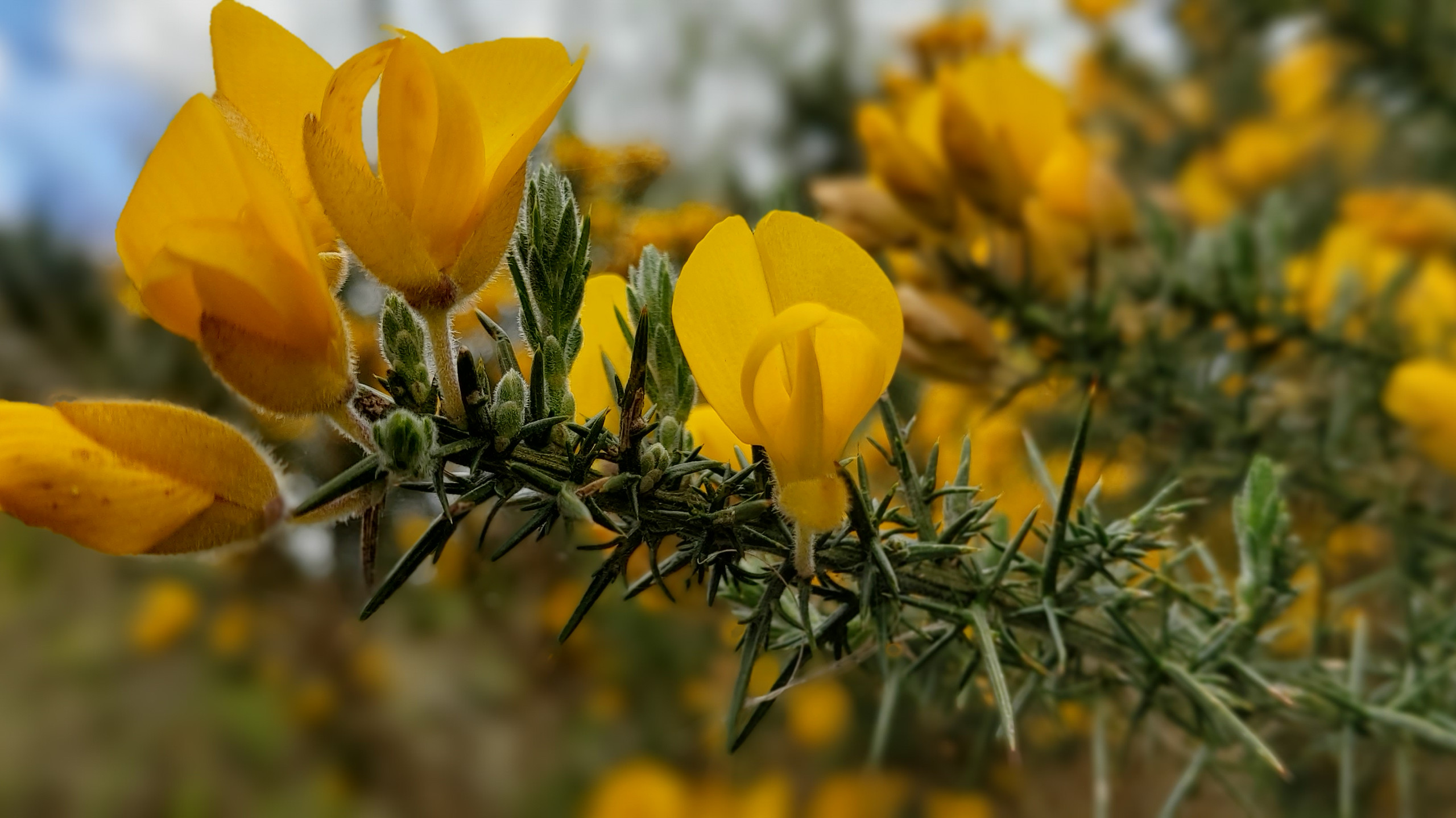 my fave: yellow gorse