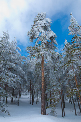 Scots pine forest covered in snow in winter
