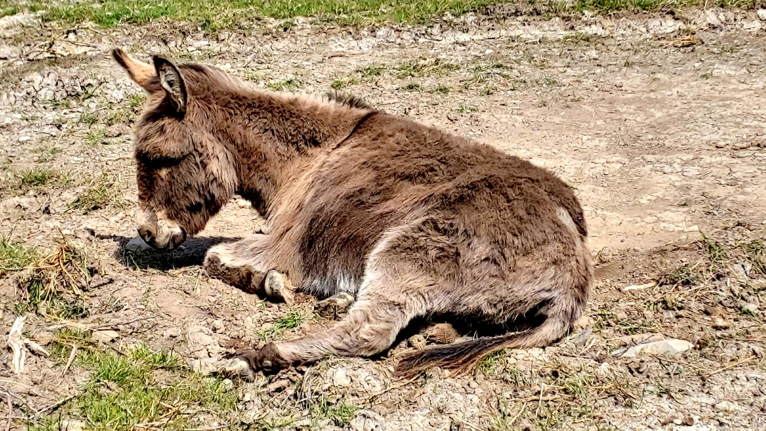day-dreaming donkey