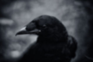 Black and white close up of a crow's face