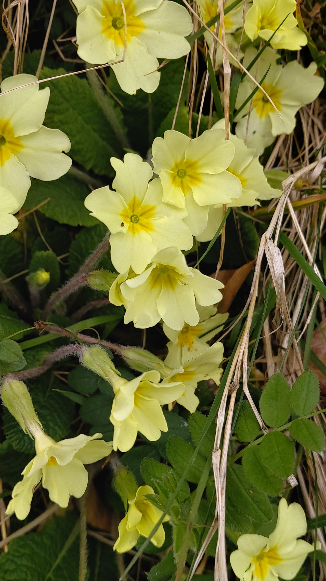 Rampant primroses this year!