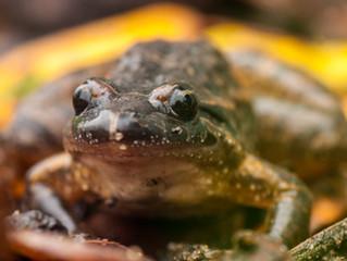 Biodiversidade da QEM: Rã de focinho pontiagudo