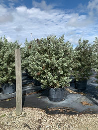 Silver Buttonwood Multi.jpg