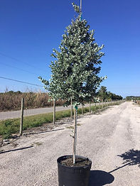 Silver Buttonwood 25 gal std.jpg