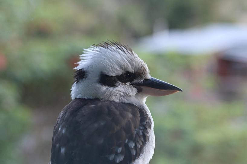 XLR general wildlife-kookaburra-1.jpg