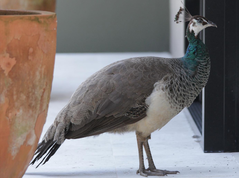 general wildlife-peacock.png