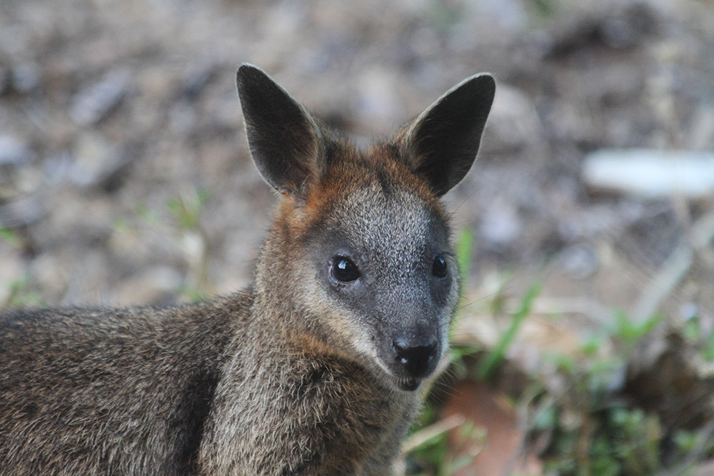 XLR general wildlife-wallaby-1.jpg