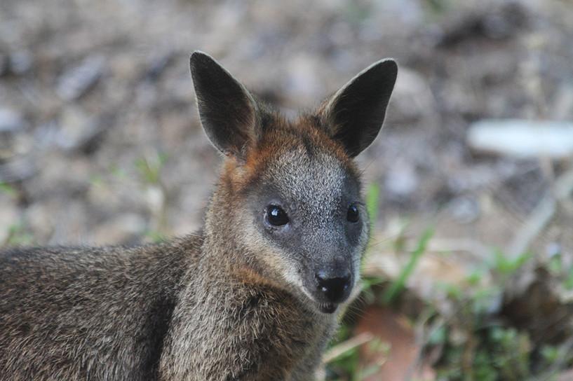 XLR general wildlife-wallaby-1.jpg
