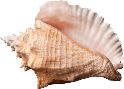 conch_shell.png