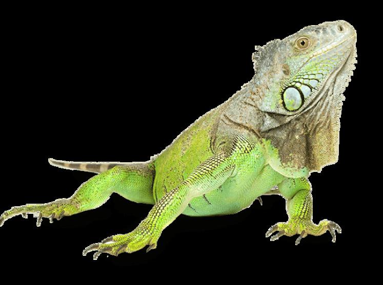 iguana (1).png
