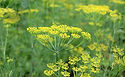 aneth-fleurs-173717.jpg
