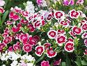 oeillet-de-chine-Dianthus-chinensis.jpg