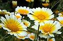 chrysanthème.jpg