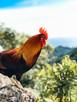 Rarotonga Rooster