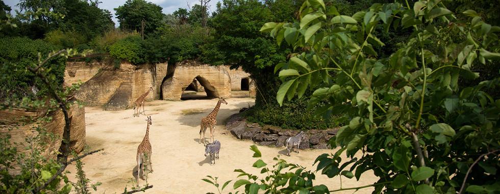Camp_des_girafes_©_Bioparc.jpg