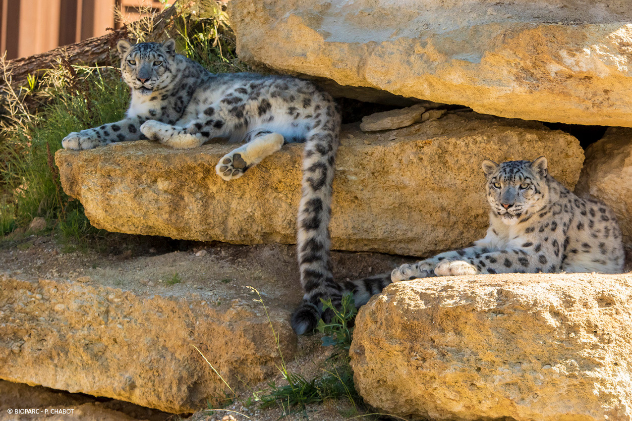 Panthere_des_neiges_©_Bioparc_-_P._Chabo