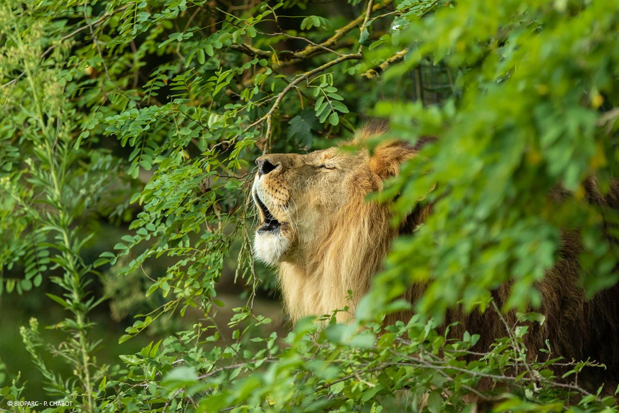 Lion_©_Bioparc_-_P._Chabot.jpg