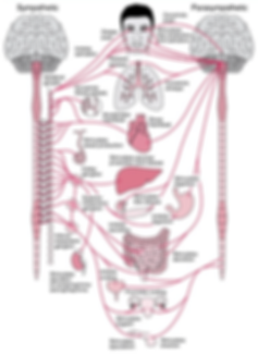 Diagram displaying symptoms of dysautonomia in different body organs, caused by the parasympathetic and sympathetic nervous systems