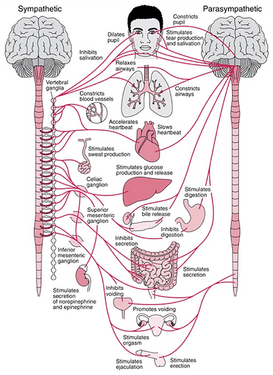 Parasympathetic and sympathetic nervous systems and what they do.