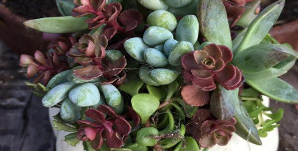 Unique Succulents