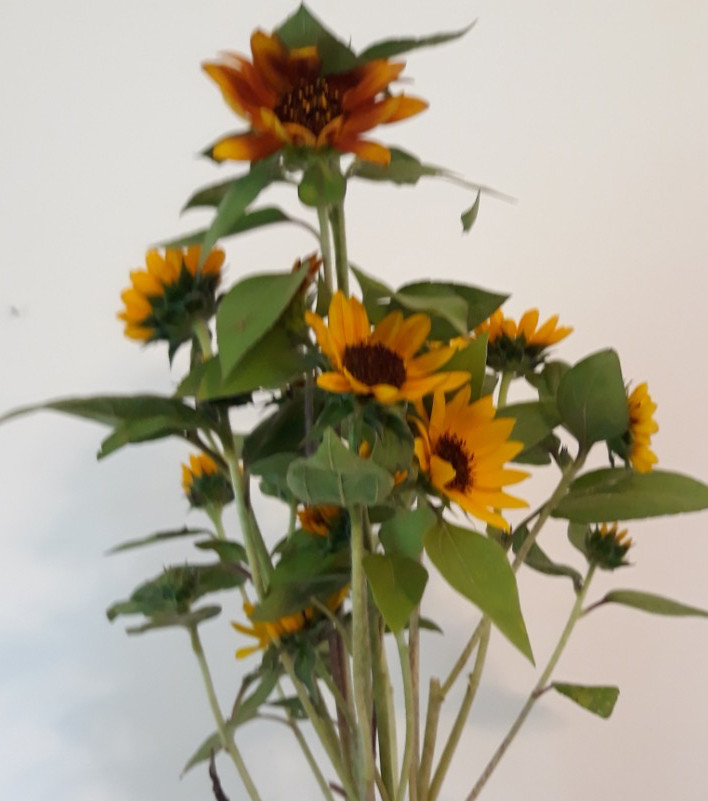 Branching Sunflowers