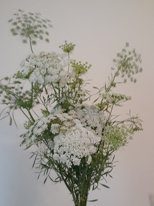 Ami Majus 'Queen Anne's Lace' (bunch of 10)
