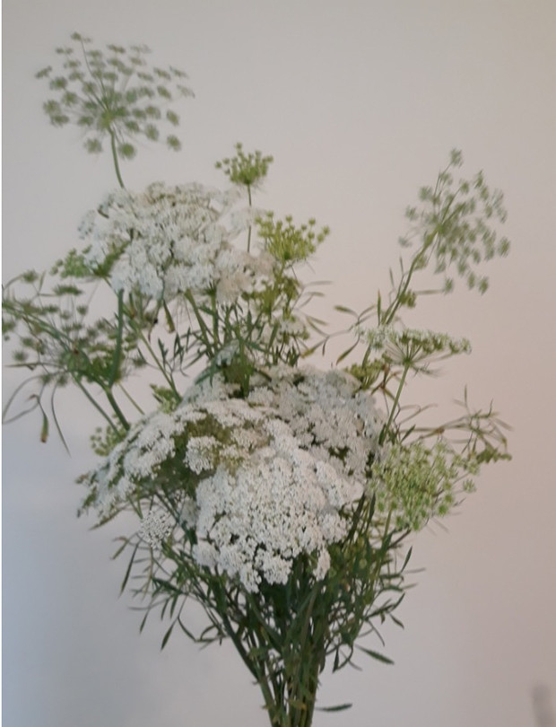 Ami Majus 'Queen Anne's Lace'