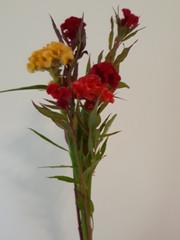 Celosia Bombay