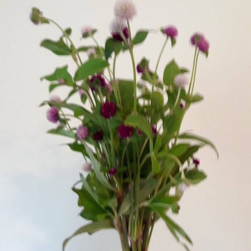 Gomphrena 'Globe Amaranth' (bunch of 10)